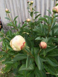 <p>これも先生のお家で毎年咲く「シャクヤク」というお花です。<br />とても大きな花になります。<br />花が咲くころは幼稚園が始まってたらいいな~<br />お友だちにも見せてあげたいです。<br />ここでクイズです。スナップエンドウとシャクヤクがお家にある先生は誰でしょう?</p>